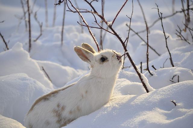 sníh a králík